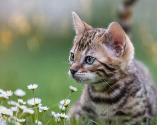 Bengal Kitten in Flower Meadow